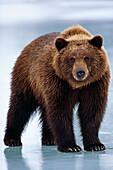 Adolescent Brown Bear standing on frozen pond Winter SC Alaska Wildlife Conservation Center Captive
