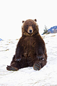 CAPTIVE: Grizzly during winter sits on snow at the Alaska Wildlife Conservation Center, Southcentral Alaska