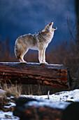 Coyote Standing on Log Alaska Wildlife Conservation Center Winter SC Alaska