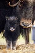 Closeup of Muskox Cow w/Calf Captive Alaska Wildlife Conservation Center SC Alaska Spring