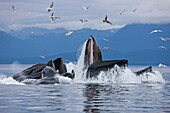 Humpback whales bubble net feeding for herring in Chatham Strait, Tongass National Forest, Inside Passage, Southeast Alaska, Summer
