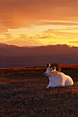 Ram Dall Sheep at Sunset in Front of Mckinley Denali NP