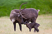 A day old Reindeer calf is nuzzled by its mother in a grassy field, Alaska Wildlife Conservation Center, Southcentral Alaska, Summer. Captive