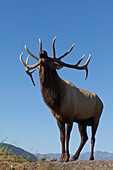 Close up view of a Rocky Mountain bull elk bugling during the Autumn rut at the Alaska Wildlife Conservation Center near Portage, Southcentral Alaska. CAPTIVE