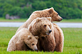 Coastal Brown Bear sow with her two spring cubs at Hallo Bay, Katmai National Park, Alaska