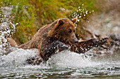 Coastal brown bear sow fishing at Kinak Bay, Katmai National Park, Alaska