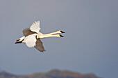 A pair of swans flying over Hallo Bay, Katmai National Park, Southwest Alaska, Fall