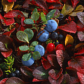 Closeup of wild blueberries cranberries & crowberries on tundra off Denali Hwy Southcentral Alaska Autumn