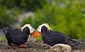 A pair of Tufted Puffins engaging in mating behavor on Middleton Island, Southcentral Alaska