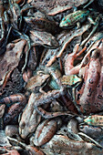 Close up of multi colored Wood frogs piled together spring Palmer Alaska