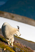 A Mountain Goat near Exit Glacier's Harding Icefield Trail grazing on plants, Kenai Fjords National Park, Kenai Peninsula, Southcentral Alaska, Summer