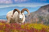 Close up of a large Dall sheep ram standing on Fall tundra near Savage River Valley in Denali National Park and Preserve, Interior Alaska, Autumn