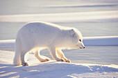 White Arctic Fox on Ice Churchill Manitoba Canada Winter