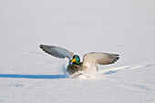 Mallard drake with wings extended lands in snow near Chena River, Fairbanks, Interior Alaska, Winter, Digitally Altered