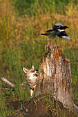 Coyote watching Magpie fly off of stump @ Big Game Alaska Captive Southcentral Alaska Summer