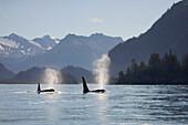 Orca whales surface on Kachemak Bay Homer with Kenai Mountains in background Alaska Kenai Peninsula Summer