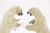 Two adult Polar Bears (Ursus maritimus) stand on their hind legs and play fight in Churchill, Manitoba, Canada, Winter