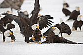 Two adult Bald Eagles (Haliaeetus leucocephalus) fight on the snow covered ground over a herring fish Homer Spit, Homer, Kenai Peninsula, Southcentral Alaska, Winter