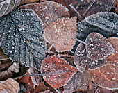 Heavy Frost on Fall Leaves Southcentral Alaska