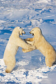 Polar bears wrestling and play fighting at Churchill, Manitoba, Canada.