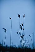 Tall Grass at Dusk, Silhouette