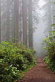 A path through Ladybird Johnson Grove, with tall trees in the woodland, redwoods with straight trunks. Mist. Lush foliage.