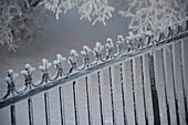 Winnipeg, Manitoba, Canada, Snow-Covered Iron Fence