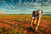Farmer working in a field, Madagascar, Africa