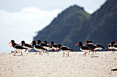 blocked for illustrated books in Germany, Austria, Switzerland: Oystercatcher birds on the beach with red bills, Awaroa Inlet, Abel Tasman Coastal Track, Great Walks, north-west of South Island, Abel Tasman National Park, South Island, New Zealand