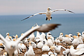 blocked for illustrated books in Germany, Austria, Switzerland: Australasian Gannet in flight, Breeding colony at Cape Kidnappers, Gannet Reserve, Hawke's Bay, North Island, New Zealand