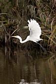 blocked for illustrated books in Germany, Austria, Switzerland: White heron in flight, Kotuku, Wetlands of Okarito Lagoon, West Coast, South Island, New Zealand