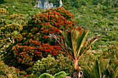 blocked for illustrated books in Germany, Austria, Switzerland: Red flowering Rata tree and native Nikau Palm, Paparoa National Park, west coast, South Island, New Zealand