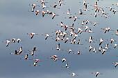 Lesser Flamingoes, flock in flight, Phoeniconaias minor, Arusha National Park, Tanzania, East Africa, Africa