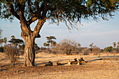 African Lions, females with cubs, resting under Acacia Tree, Panthera leo, Ruaha National Park, Tanzania, East Africa, Africa