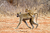 Yellow Baboon with baby, Papio cynocephalus, Lake Tanganjika, Ruaha National Park, Tanzania, East Africa, Africa
