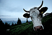 A cow in the mountains, Oberberg, Bavaria, Germany