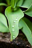 Wassertropfen, Tulpenblatt, Natur, Pflanze, Grün, Garten, Steiermark, Österreich