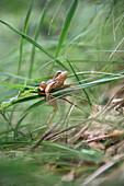 Frog rests at gras leaf at country park Logarska Dolina, Stajerska, Slovenia