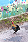 Roosters and chickens belong to the city of Key West, Key West, Florida Keys, USA