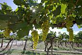 Chardonnay grapes on the vine in the vineyard of Bodega El Esteco winery, Cafayate, Salta, Argentina