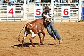 Hawaii, Maui, Makawao, Cowboy steer wrestling at 2010 4th of July Makawao Rodeo. Editorial Use Only.