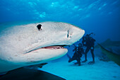 Atlantic Ocean, Bahamas, Tiger Shark (Galeocerdo cuvier), Close-up of head, Divers in background with cameras.