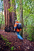 California, Big Basin State Park, Man in orange jacket hiking in the redwoods.