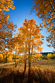 Colorado, Near Steamboat Springs, Buffalo Pass, Sun shining through fall-colored aspen trees.