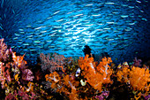 Indonesia, Komodo, Divers and a school of fusiliers and alcyonarians.