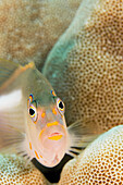 Hawaii, Close-up of an arc-eye hawkfish (paracirrhites arcatus).
