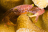 Micronesia, Yap, Red Spotted guard crab (Trapezia tigrina).