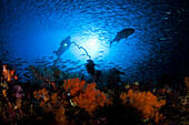 Indonesia, Komodo, coral dominates this reef scene with a diver.
