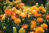 Hawaii, Upcountry Maui, Orange Pin Cushion Protea blossoms on bush.