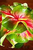 Hawaii, Close-up of a green and red anthurium.